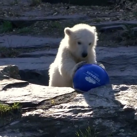 Berlin zoo unveils name of latest polar bear cub | www