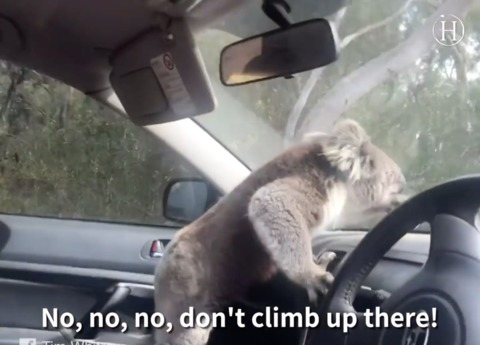 Video: Koala Sneaks Into Car, Enjoys Cool Air Inside and Refuses to Leave